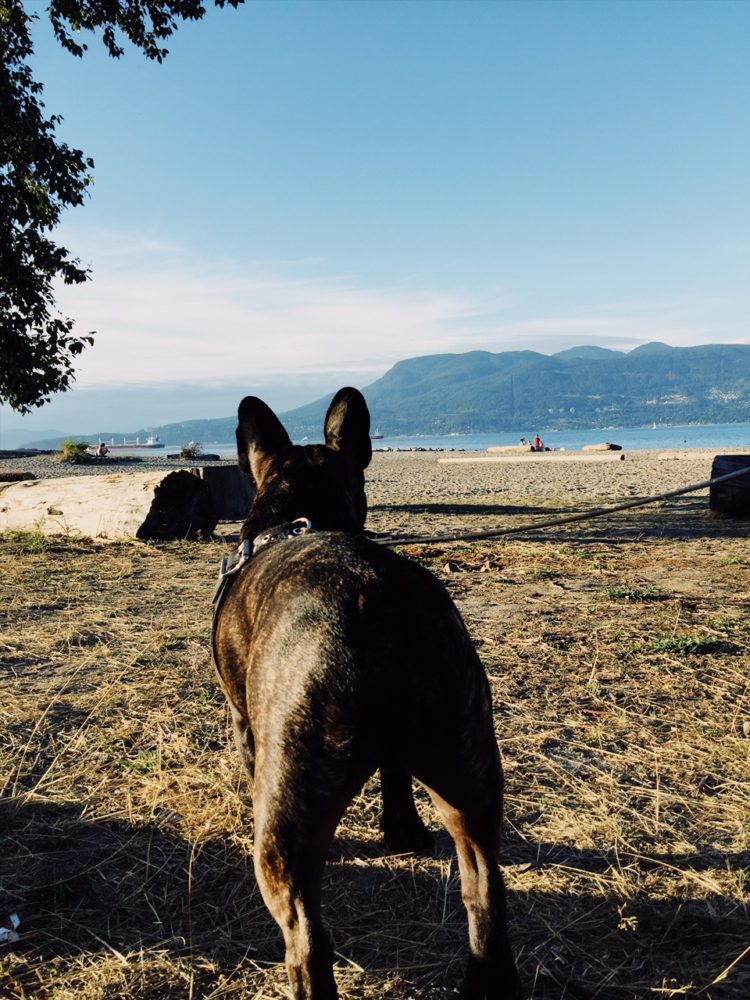 French Bulldog Vancouver